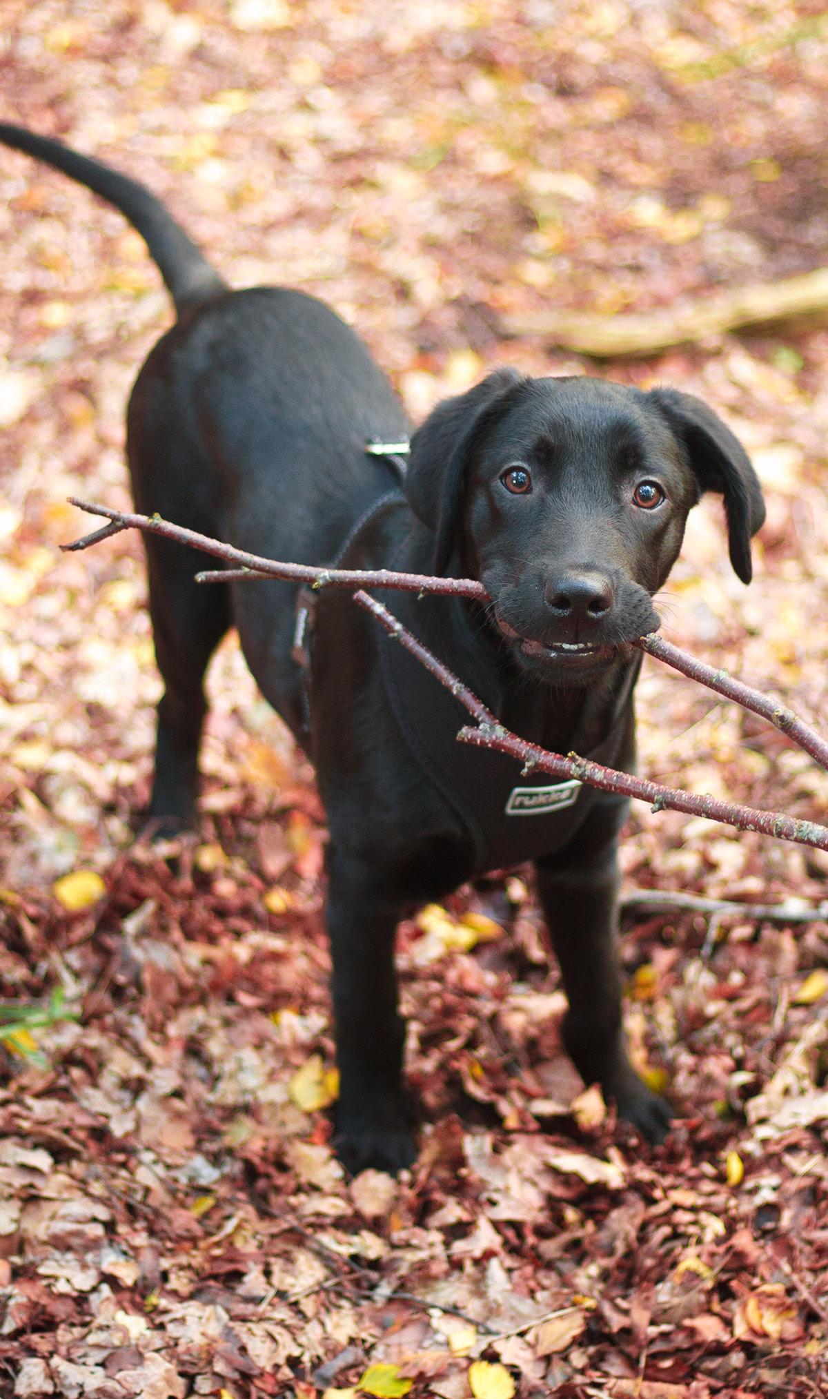 Golden Retriever Lab Mix - Have You Discovered the Goldador Dog?