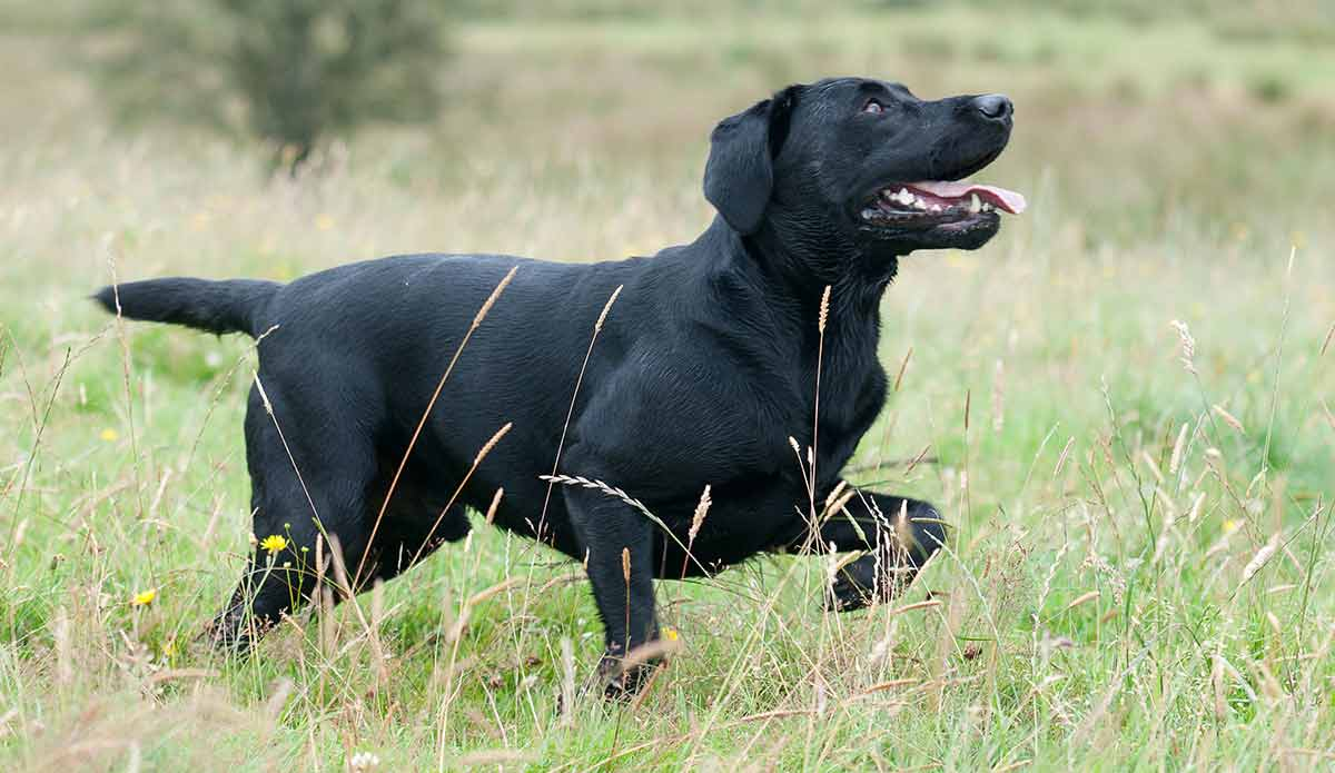 Lab Pointer Mix Is This The Right Dog For You