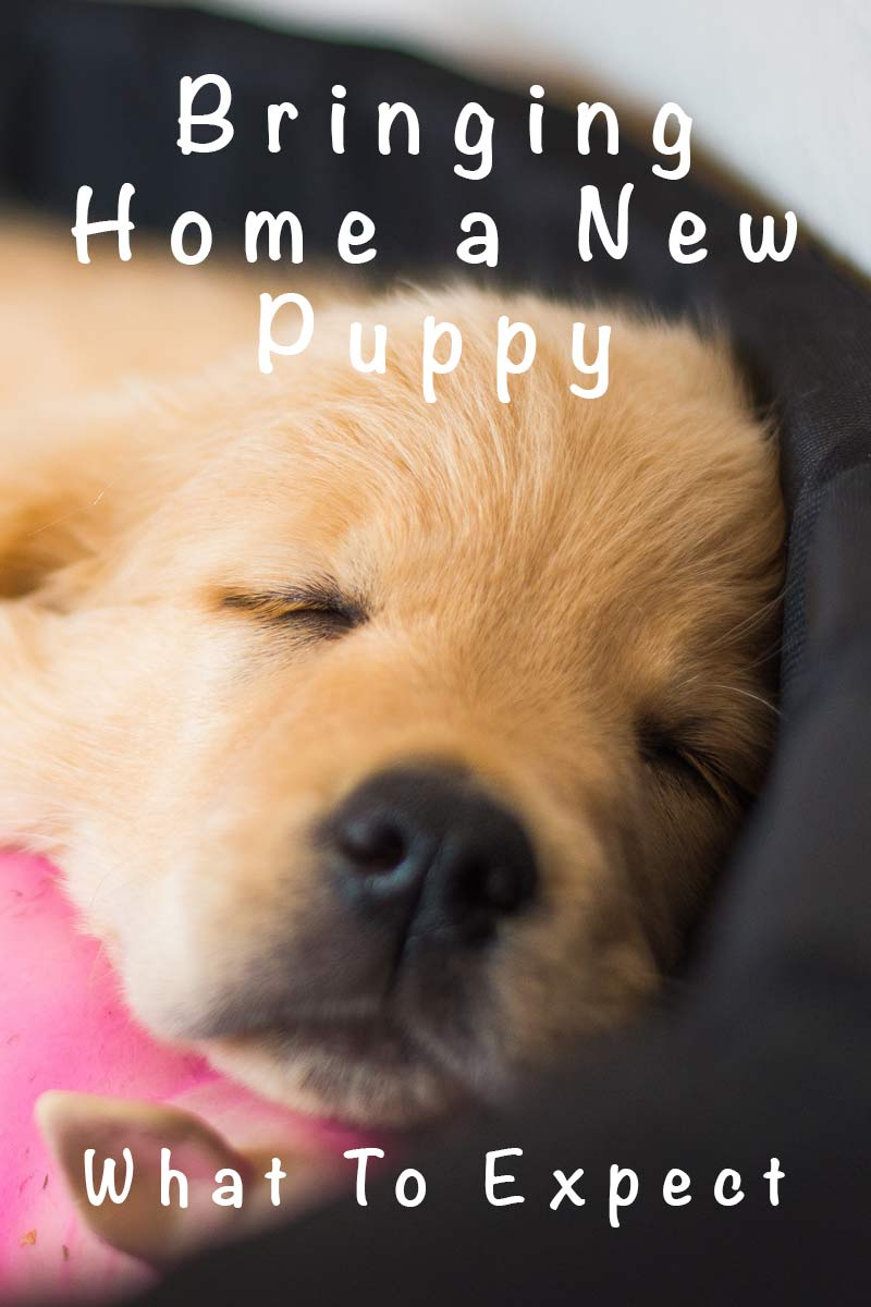 8 Week Old Puppy A Guide To Bringing A Puppy Home At 8 Weeks Old