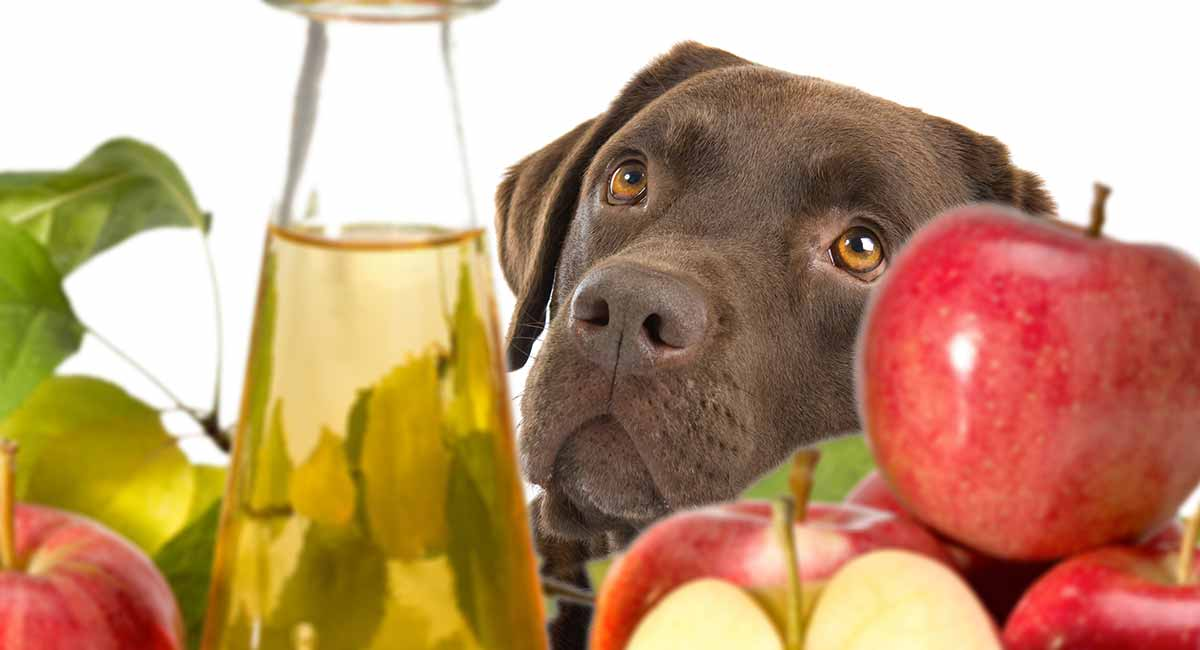 Apple Cider Vinegar For Dogs - Does It Really Work?