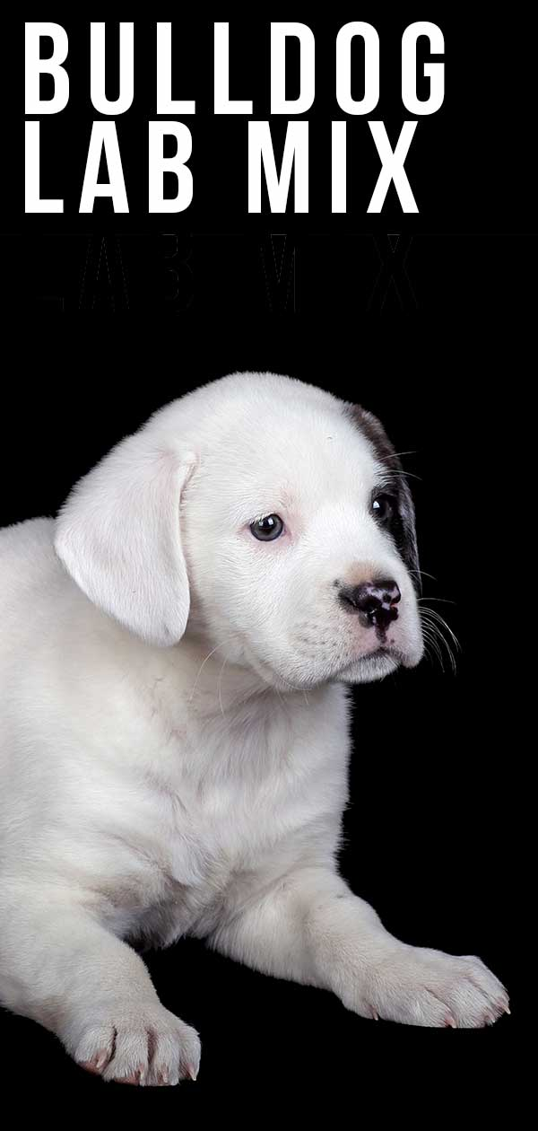 Bulldog Lab Mix