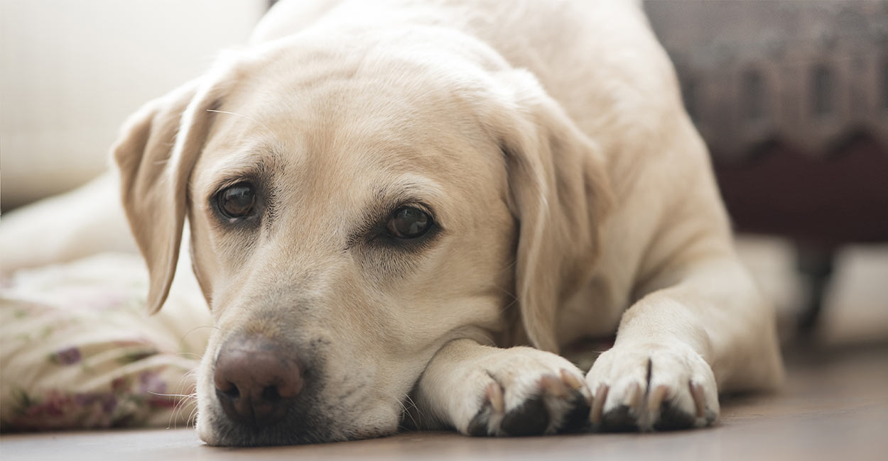 Cartrophen for dogs - The Information You Need About The Drug Your Dog Is Taking