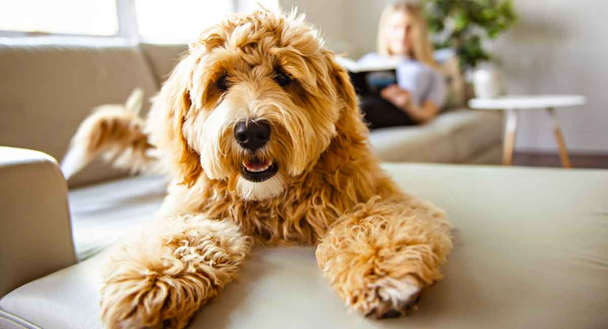 Labradoodle Dog Breed Information - A Guide To The Labrador