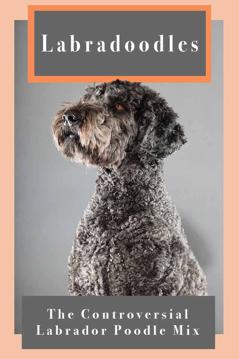 Labradoodle Dog Breed Information A Guide To The Labrador