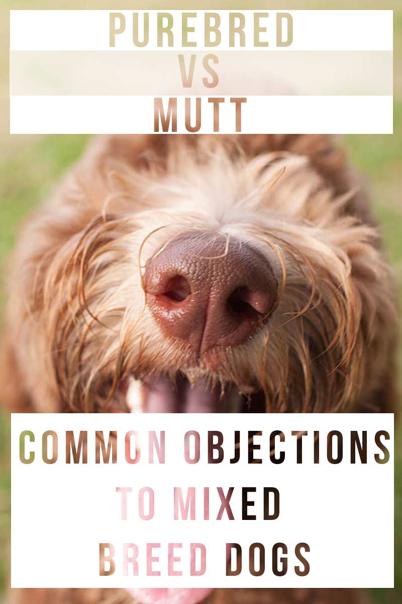 Purebred vs Mutt - common objections to mixed breed dogs