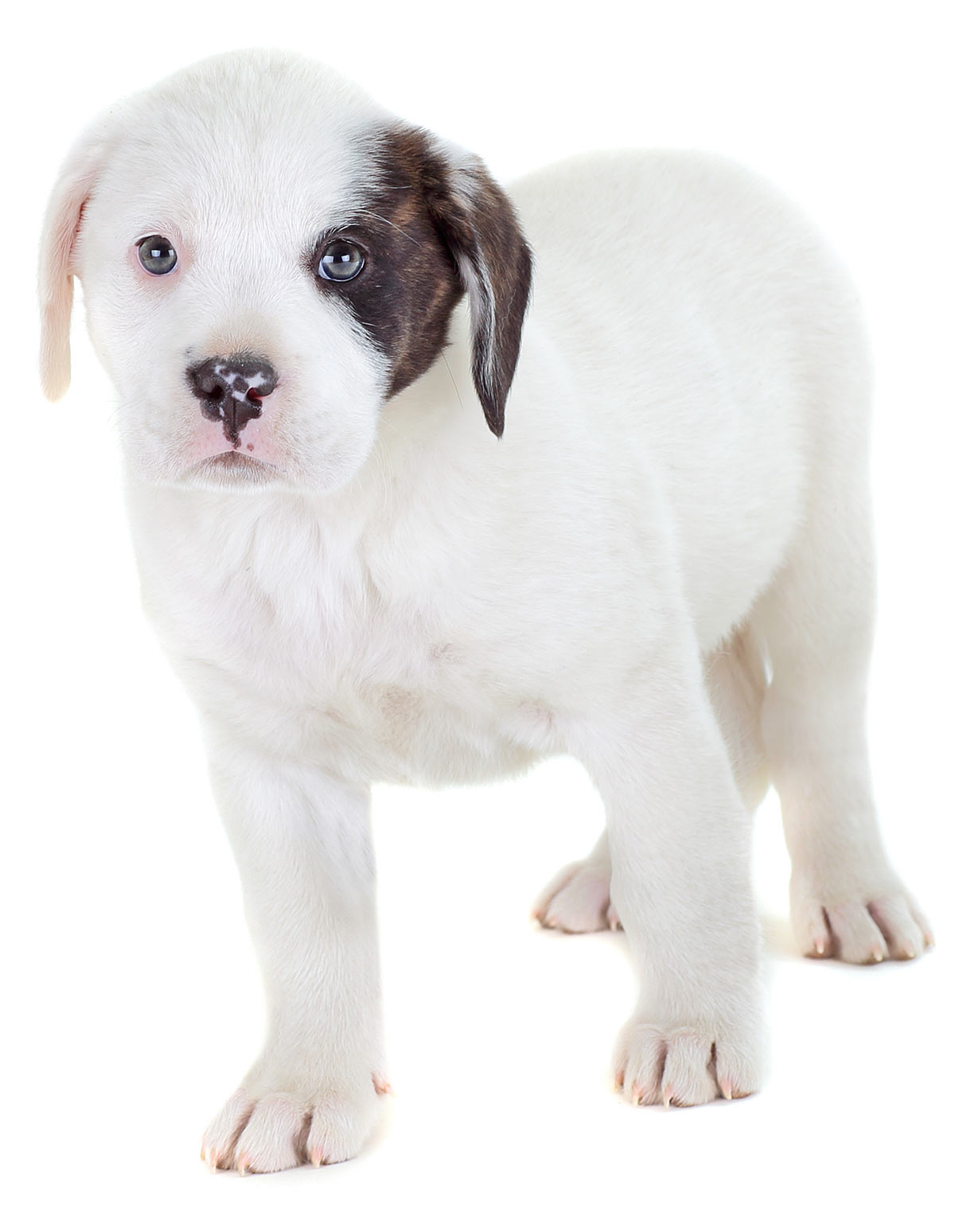 english bulldog and lab mix bulldog lab mix your guide to the bullador cross breed 8371