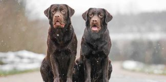 two chocolate labs