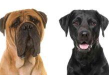 mastiff lab mix