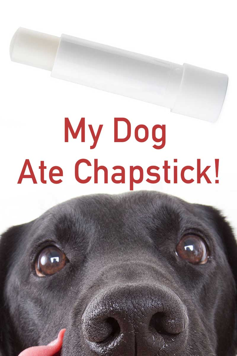 My dog ate my chapstick - Are chapsticks toxic for dogs
