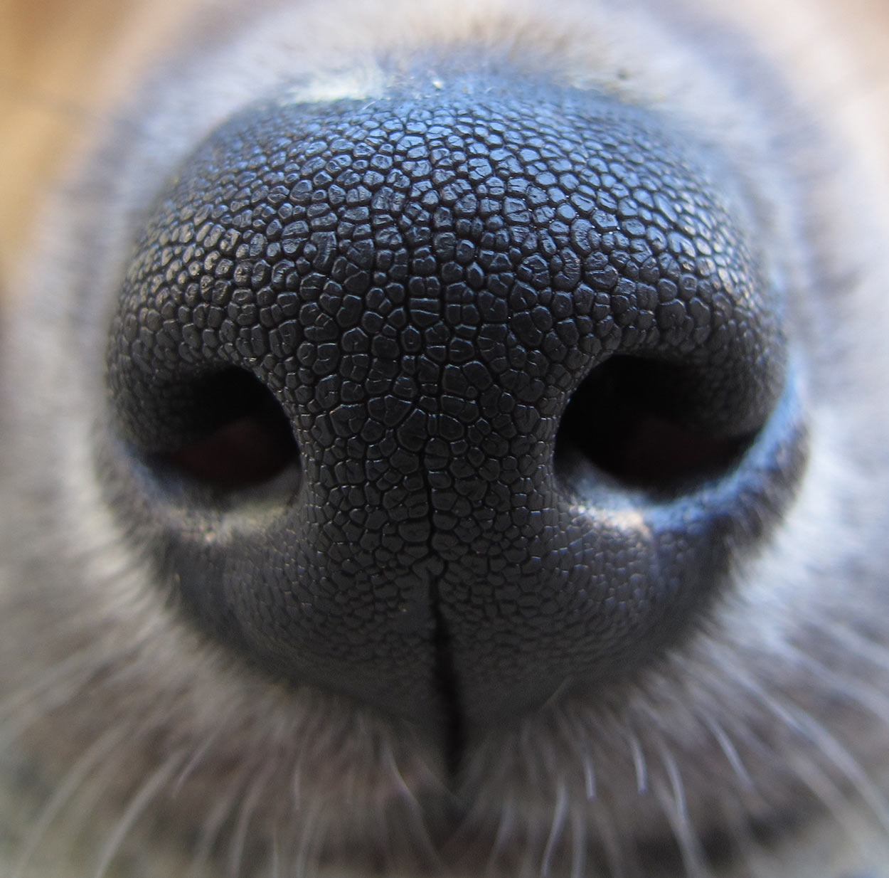 Mastiff Lab Mix A Complete Guide To The Mastador