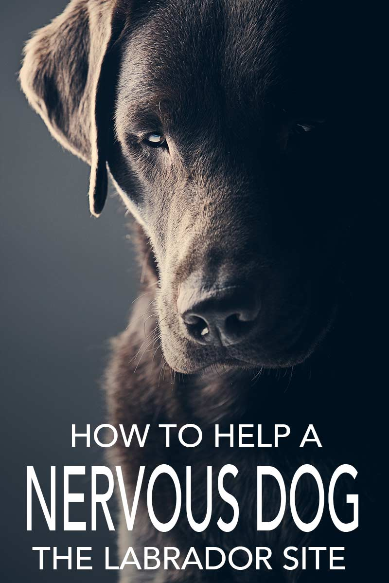 How to help your nervous dog - advice and information from The Labrador Site