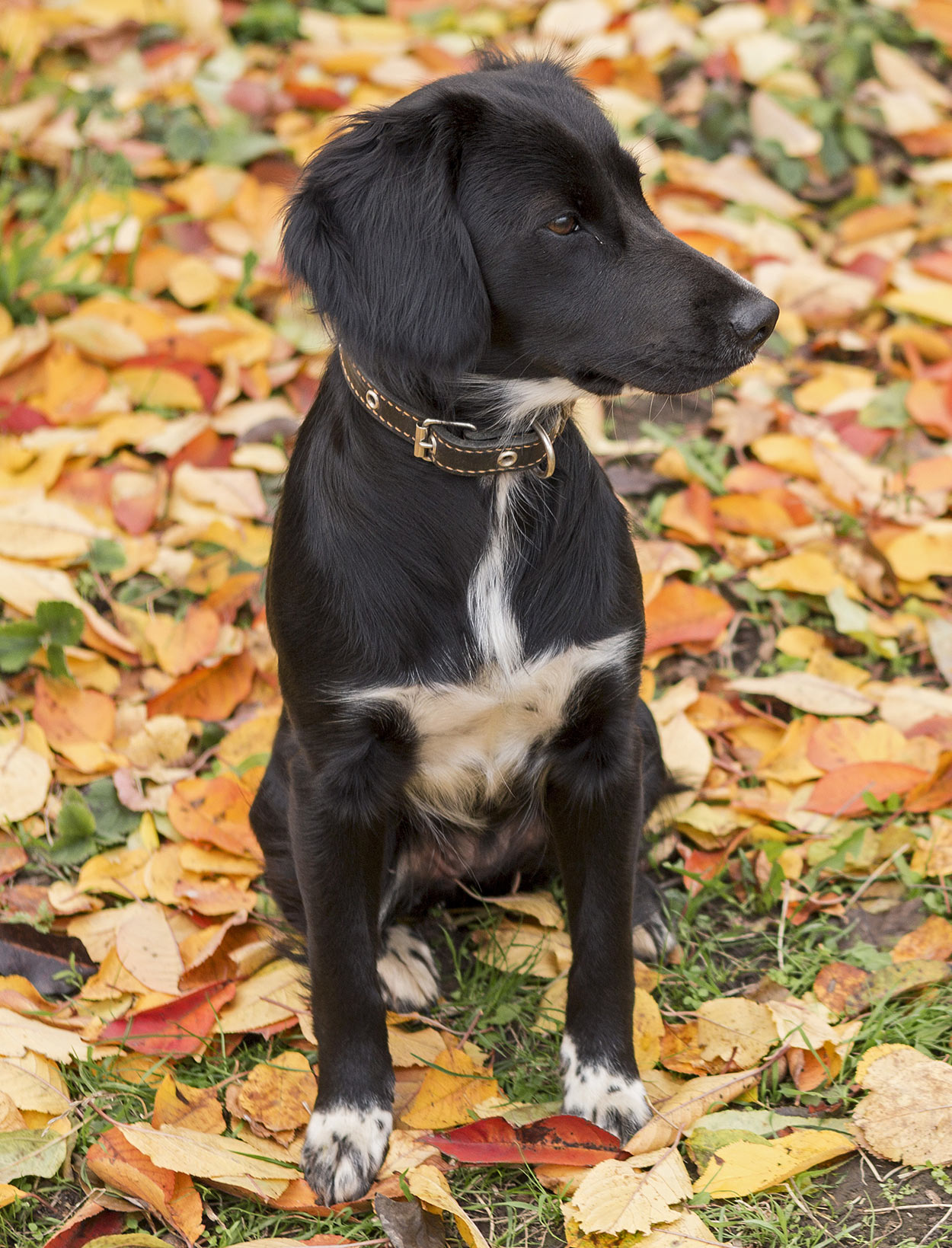 Springador - A Guide To The Springer Spaniel Lab Mix