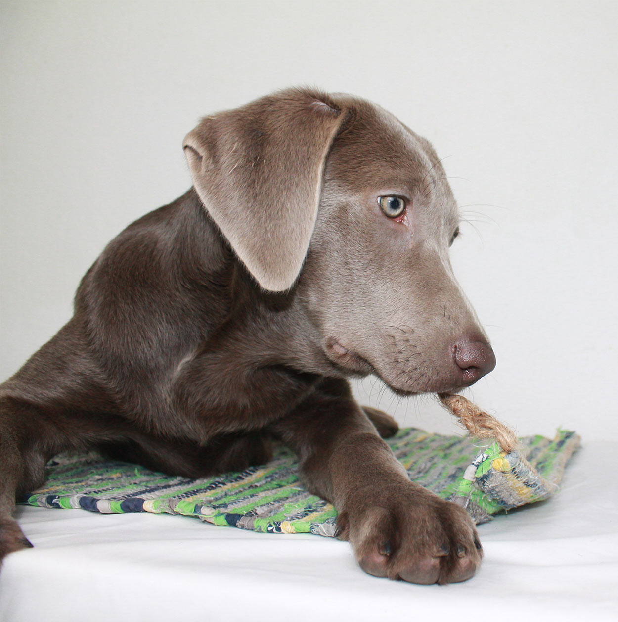 Weimaraner Lab Mix - Is This Cross Breed The Right Pup For Your Family