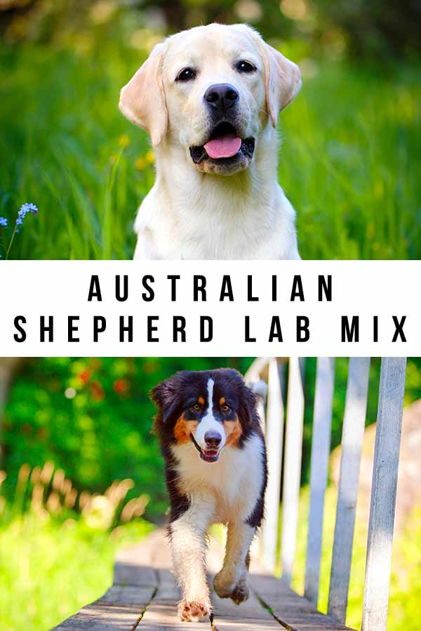 australian shepherd lab mix