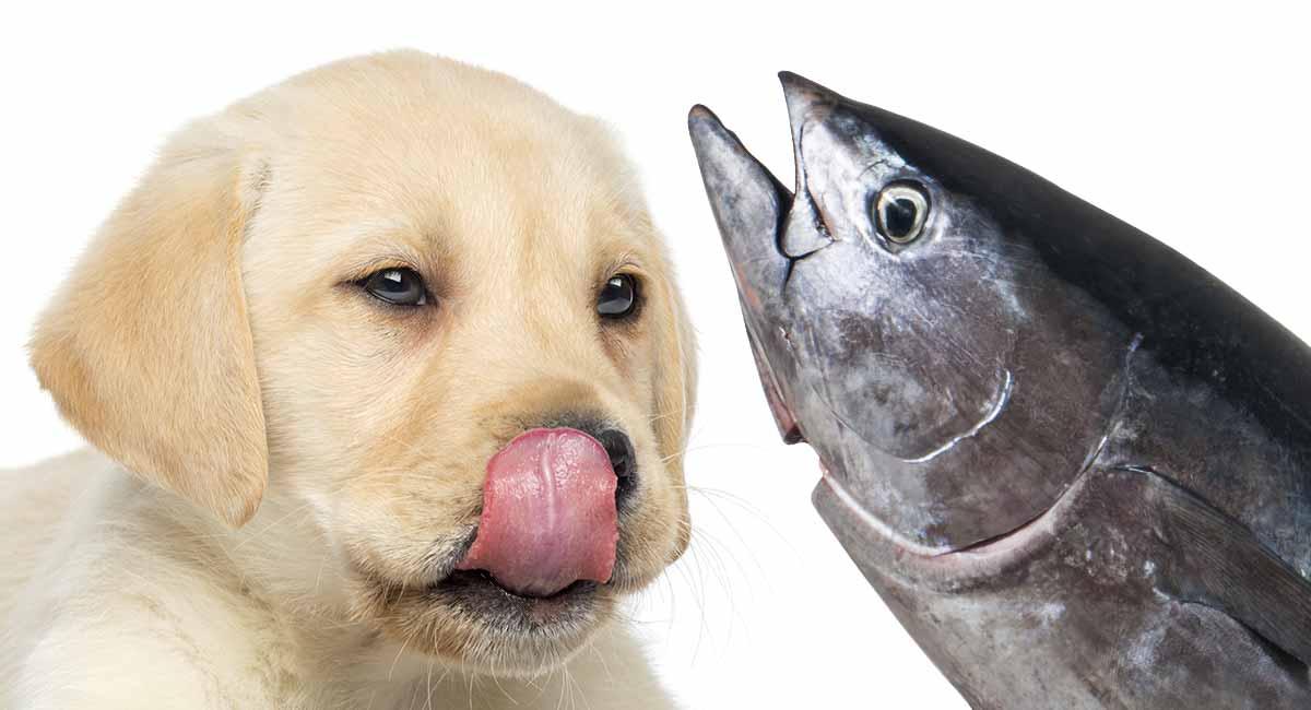 Can Dogs Eat Tuna Fish: Is Tuna Good