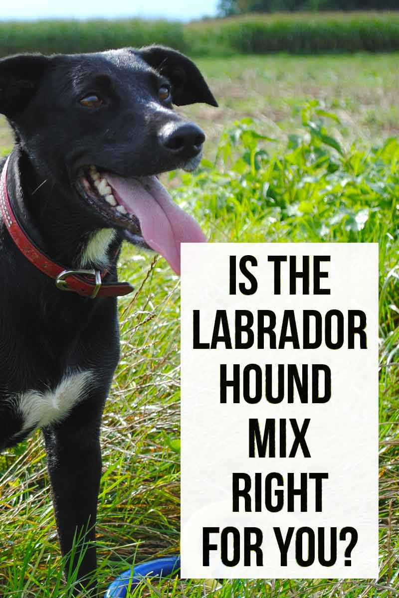 Lab Hound Mix