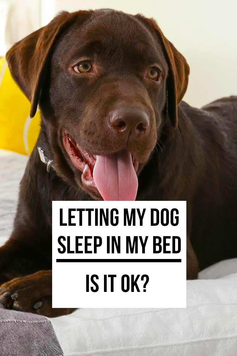 Letting my dog sleep in bed - Is it ok? - Guide for living with dogs.