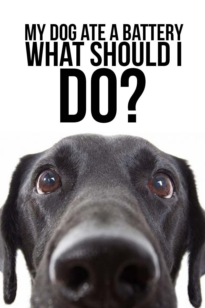 My dog ate a battery what should I do? - Dog health guide.