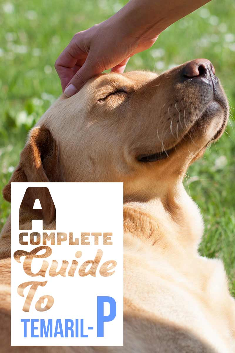 Temaril P For Dogs - A Complete Guide To Your Dog's