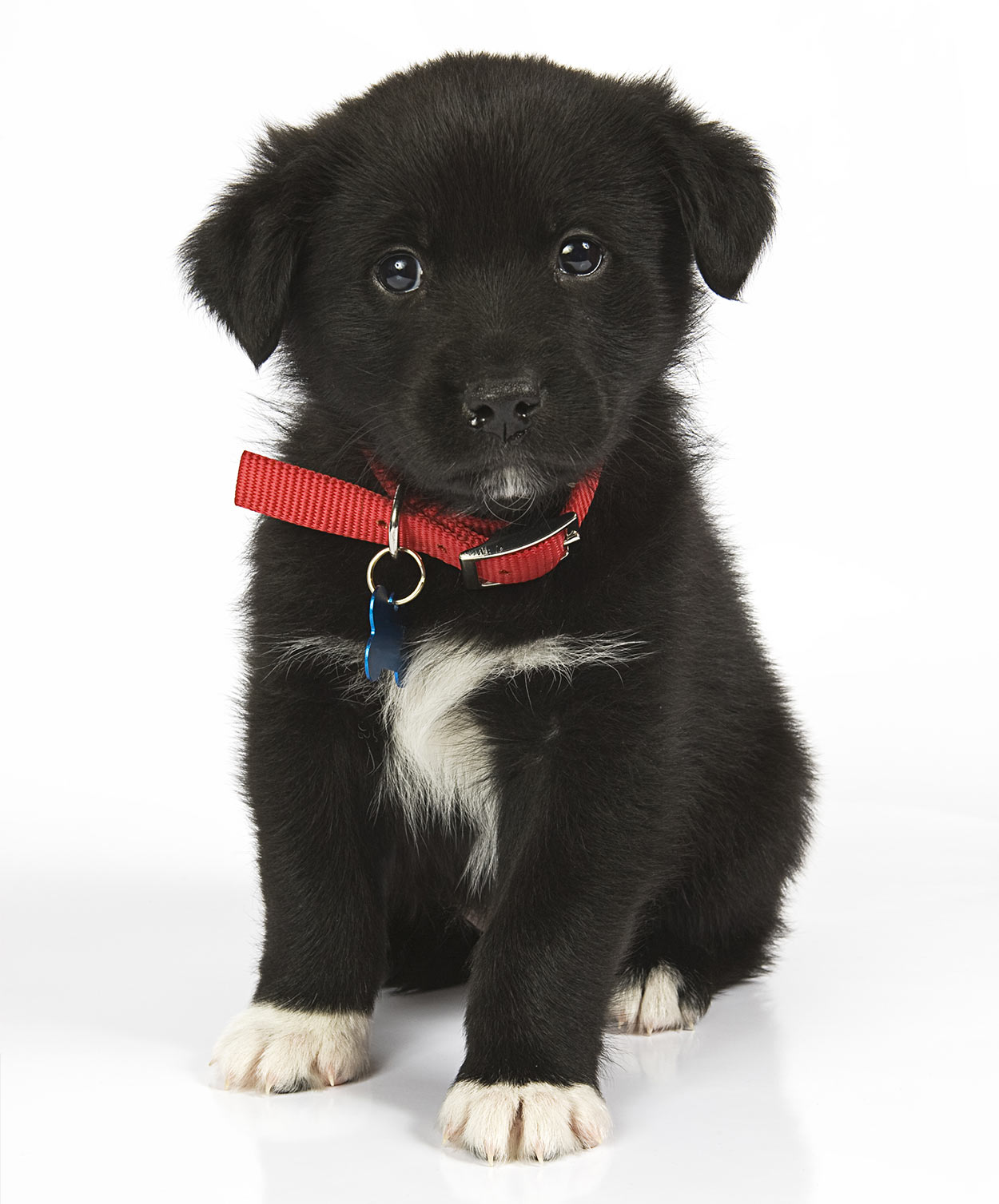 Australian Shepherd Lab Mix - Your Guide To The Aussiedor