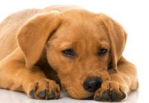 distemper in dogs
