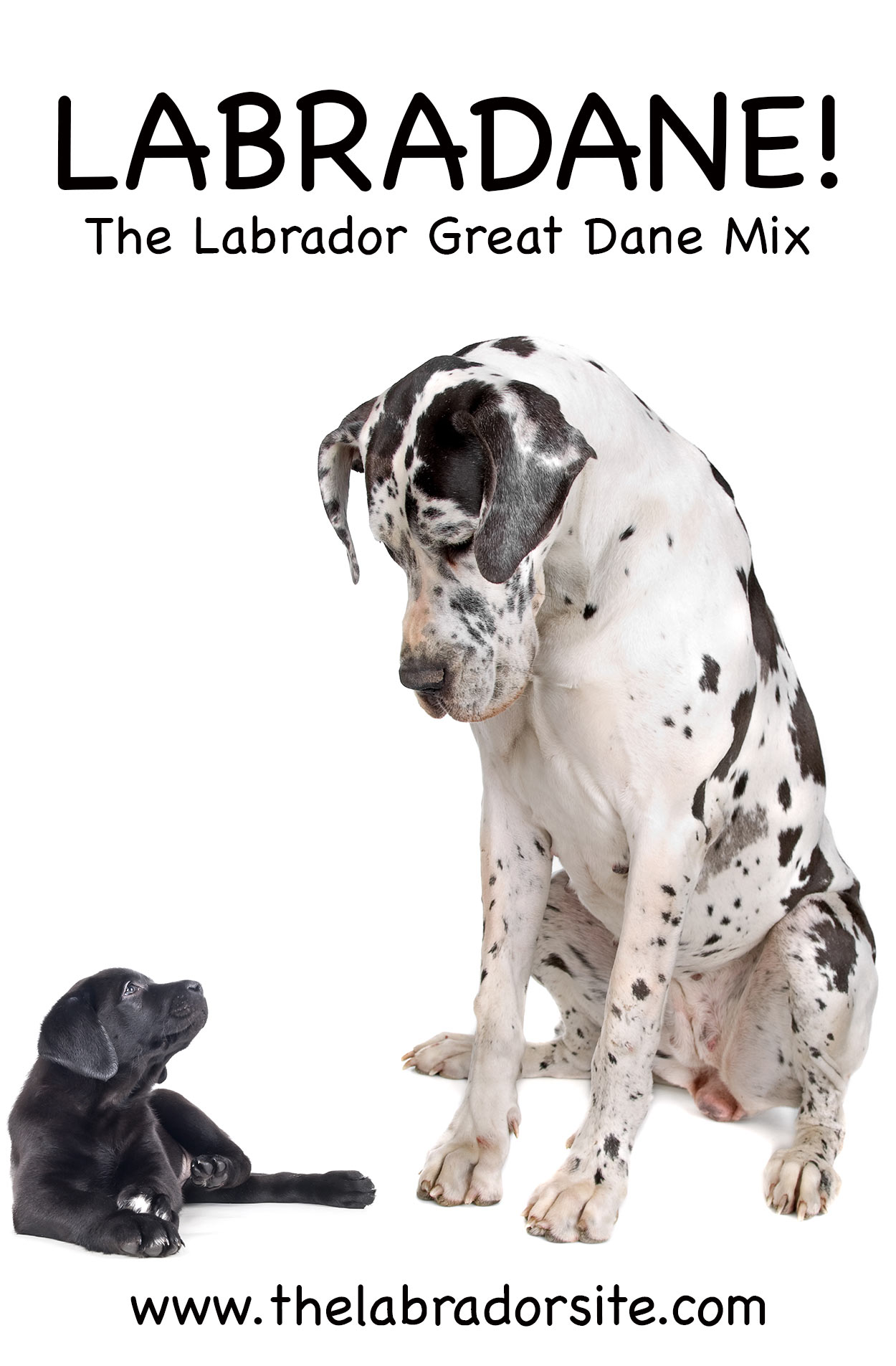 Great Dane Lab Mix Breed Information Center - Discover The