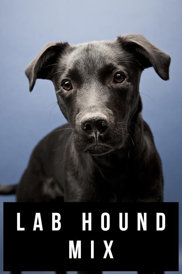 lab hound mix