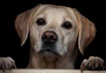 yellow lab waiting for rescue