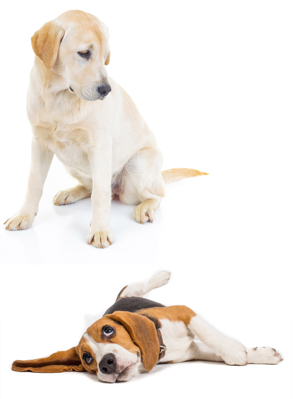 Beagle vs Labrador, which is your favourite? - Dog breed review.