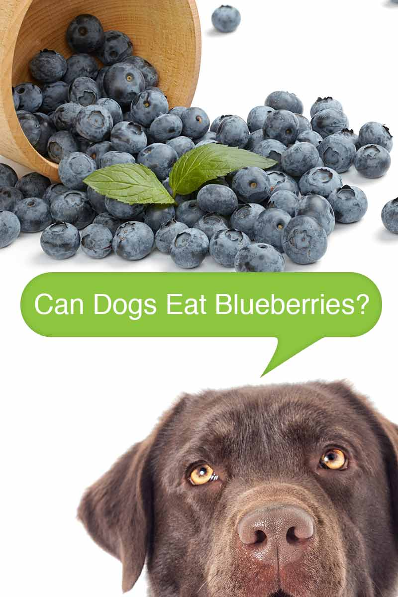 Can Dogs Eat Blueberries? - Home cooking guide for dogs.