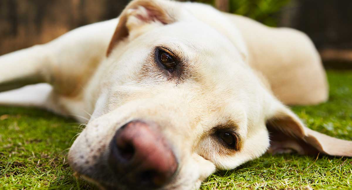 Carprofen For Dogs - What It Is, How It Works, Dosage and