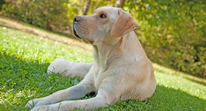 false pregnancy in dogs