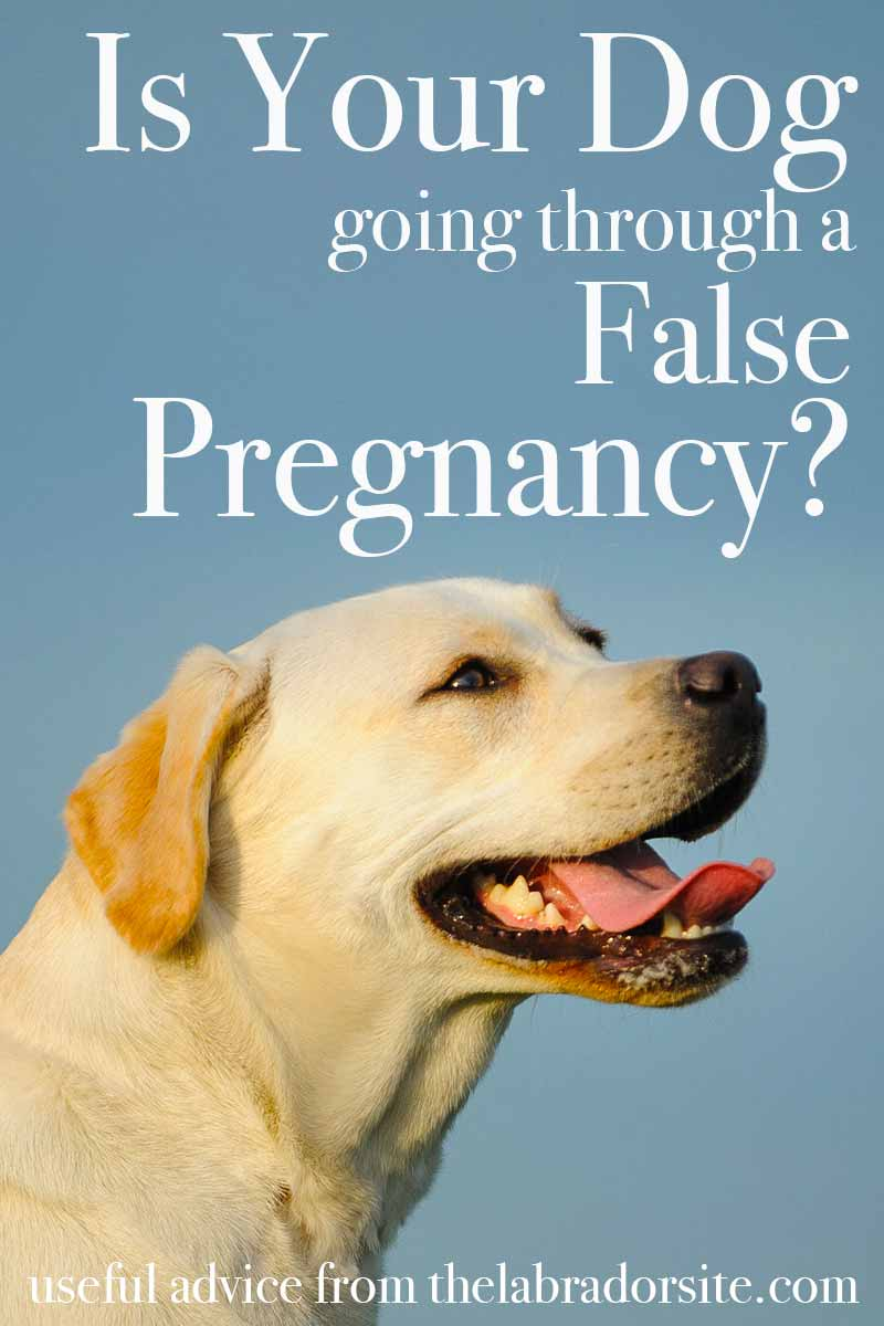 Is Your Dog going through a False Pregnancy? - Useful advice from TheLabradorSite.com