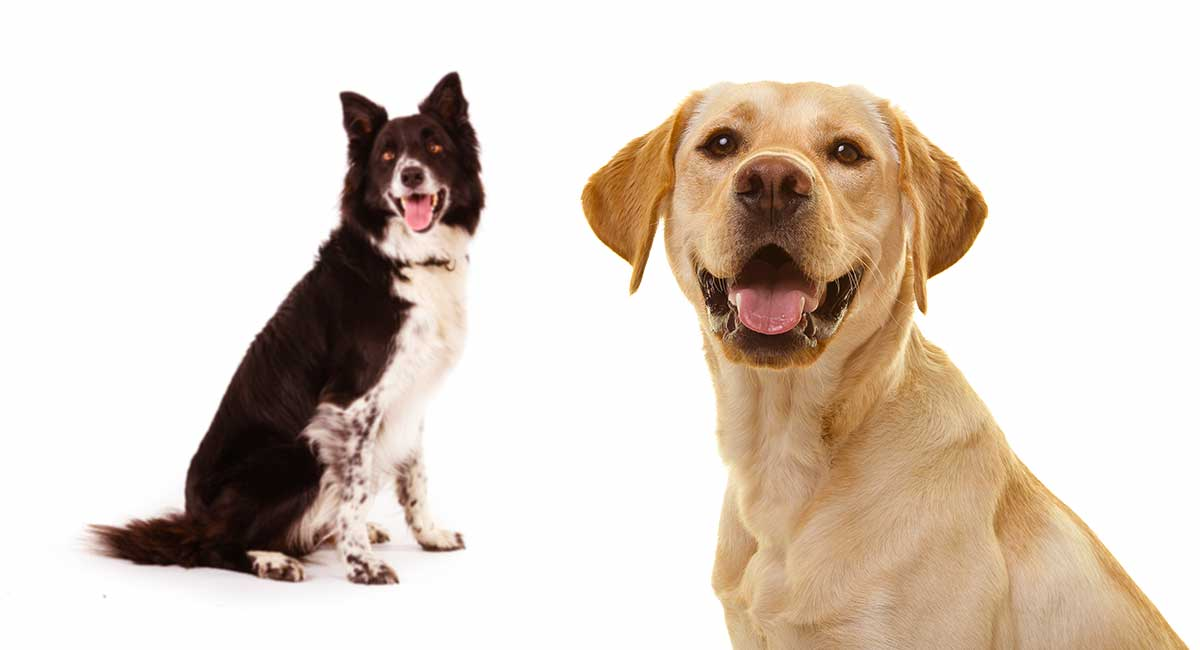Lab Collie Mix Breed Information A Guide To The Labrador Collie Mix