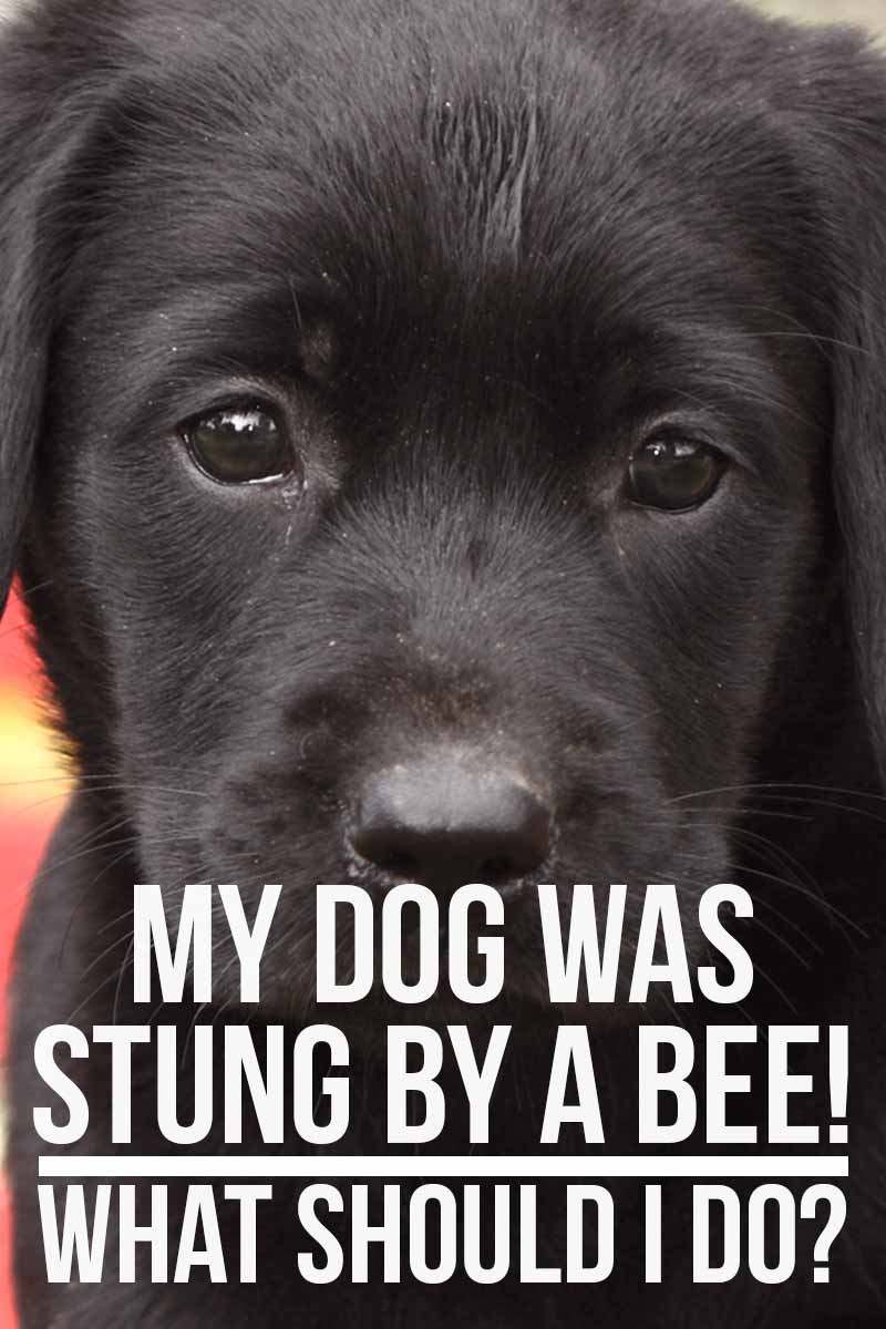 My Dog Was Stung By A Bee! What Should I Do? - Dog health advice.