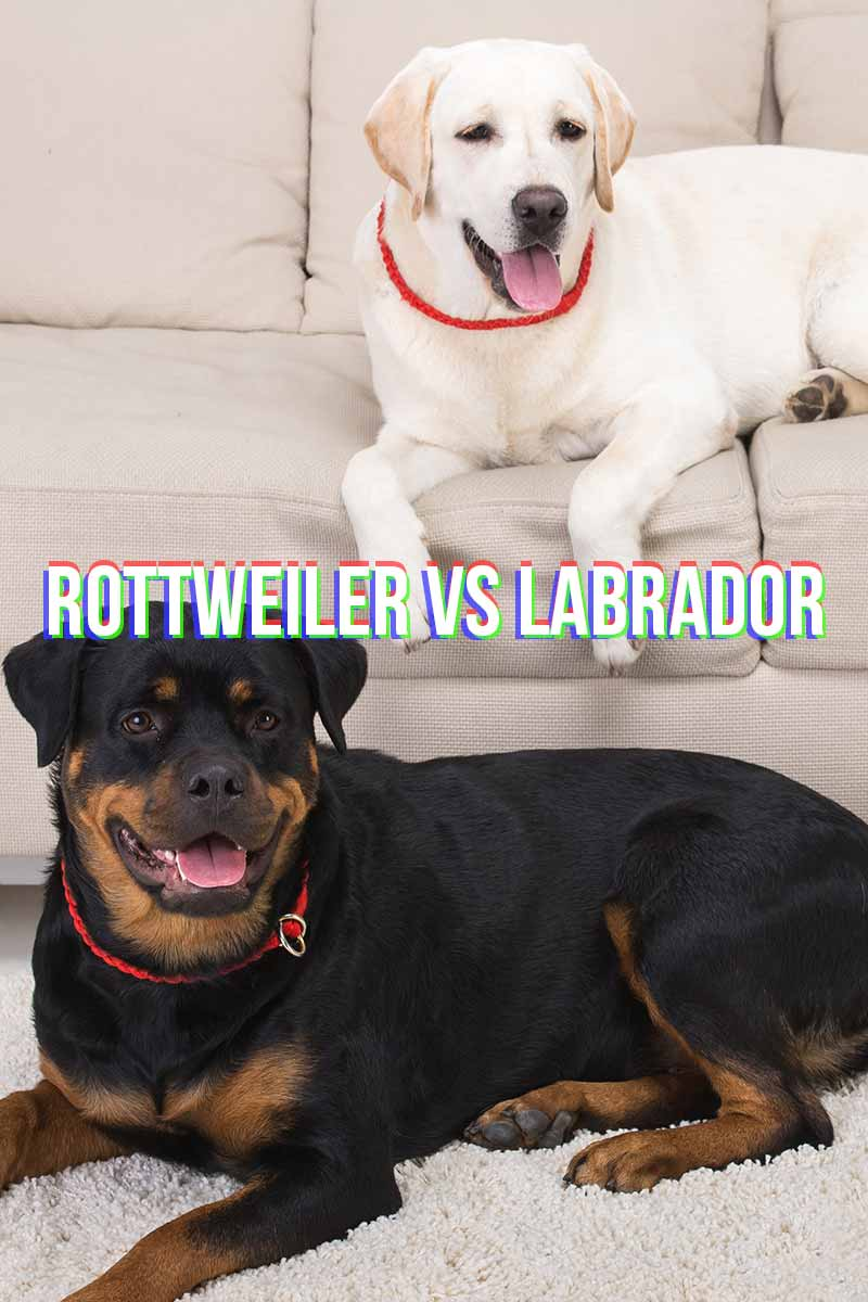 Rottweiler vs Labrador - Compering dog breeds.