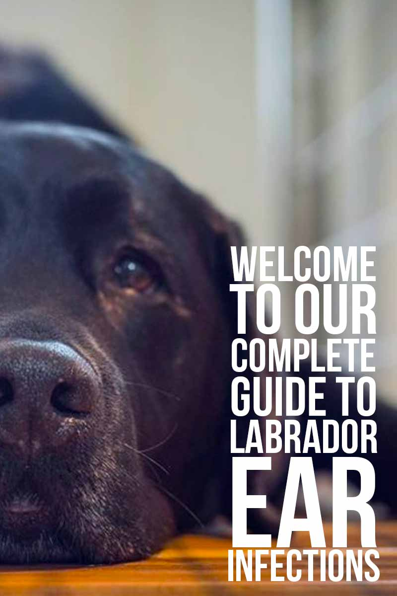 Welcome to our complete guide to Labrador ear infections - Dog health & care advice from The Labrador Site.