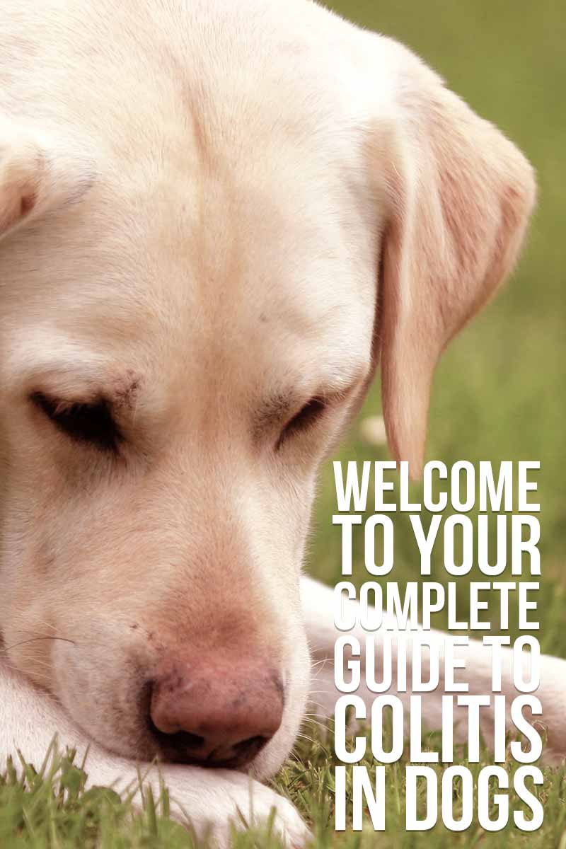 Welcome to your complete guide to Colitis in Dogs - Dog health & care advice from The Labrador Site.