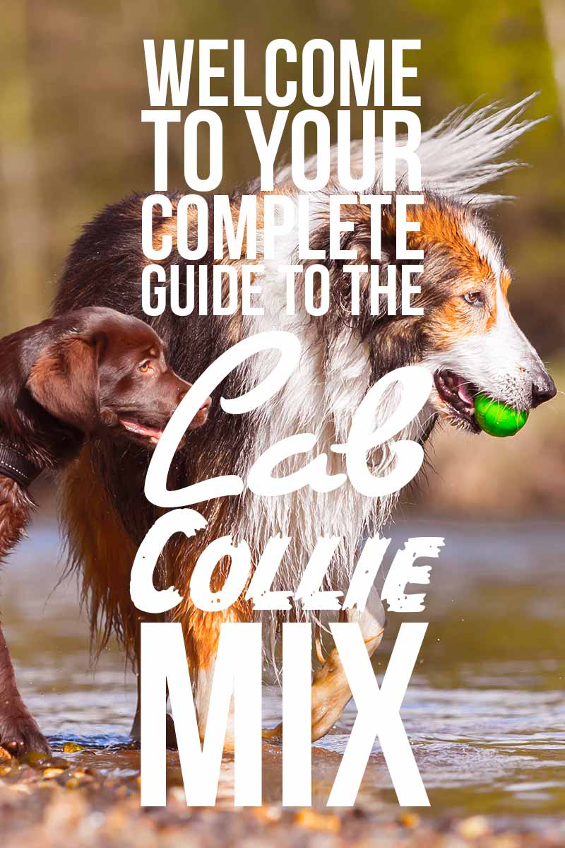 Welcome to your complete guide to the Lab Collie Mix. - Mixed breed reviews from The Labrador Site.
