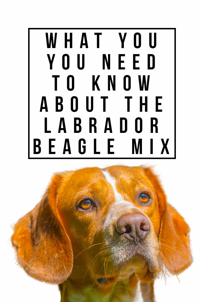 What you need to know about the Labrador Beagle mix - Dog breed review.