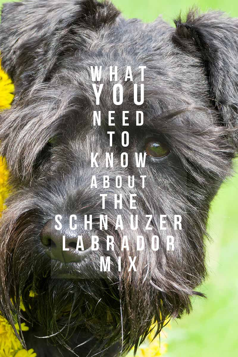 What you need to know about the Schnauzer Labrador Mix - Dog breed review.