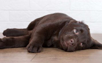 Cute puppy chocolate lab looking mischievous