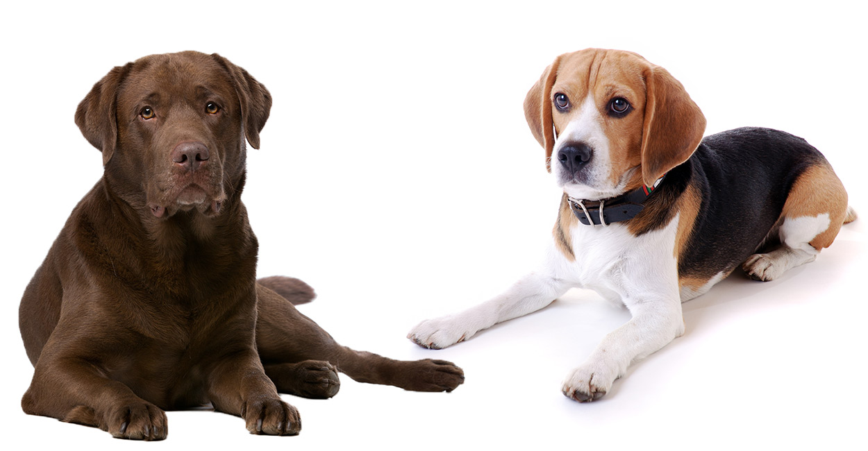 Beagle Lab Mix A Complete Guide To An Increasingly Popular Cross