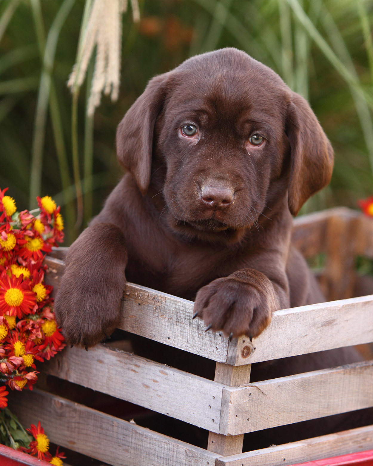 Chocolate Lab Names - Great Ideas For Naming Your Puppy