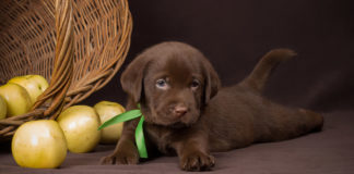 Chocolate Lab Names