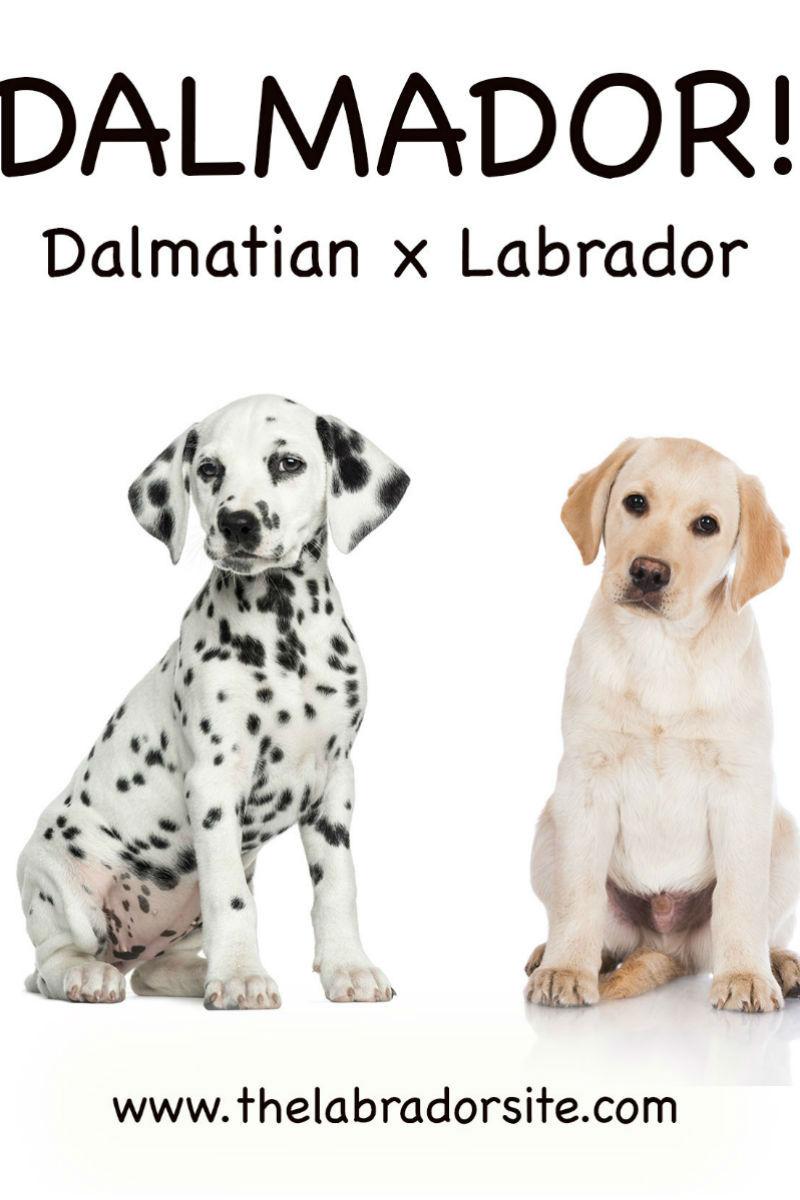 Dalmador