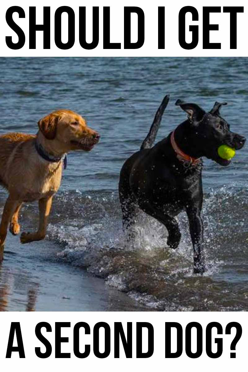 Should I Get A Second Dog? - Helpful advice from The Labrador Site.