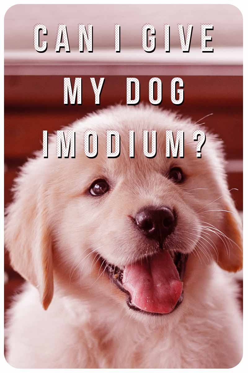Can I Give My Dog Imodium? - Dog health and care information for dog parents.