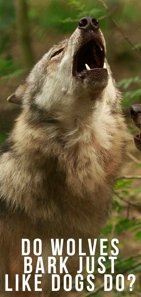 Do Wolves Bark Just Like Dogs Do?