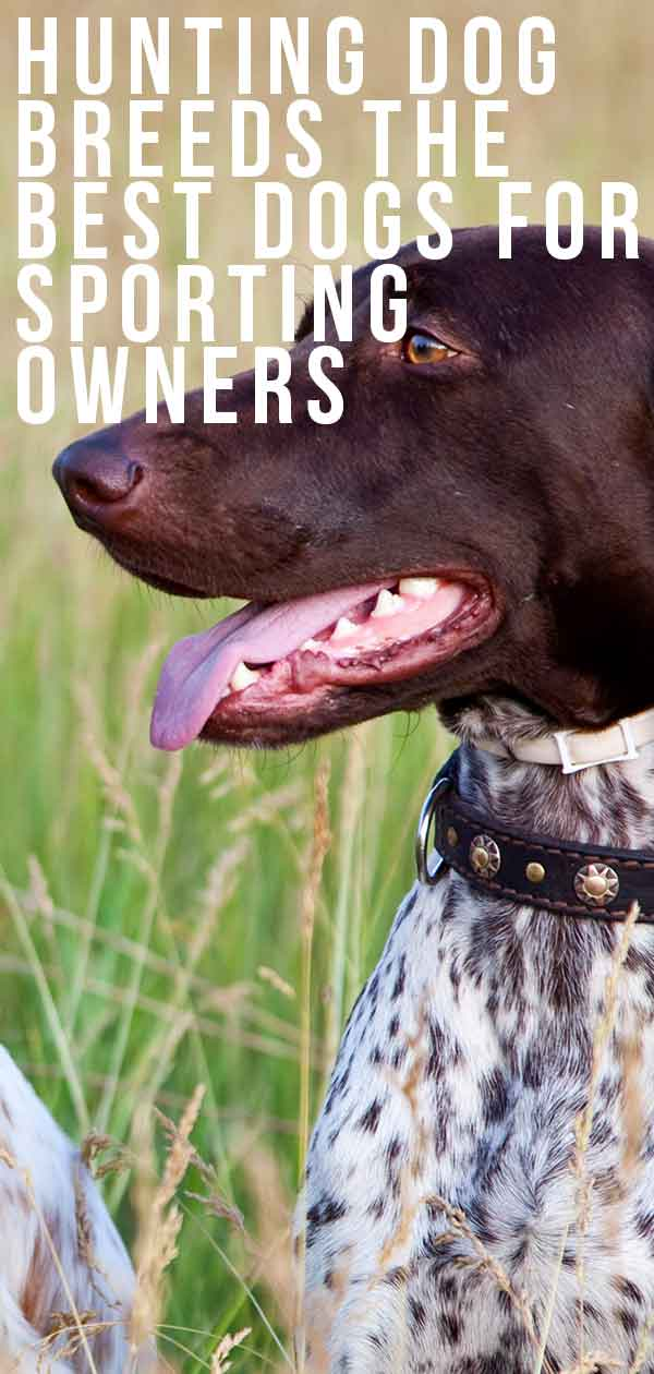 Hunting Dog Breeds – The Best Dogs For Sporting Owners